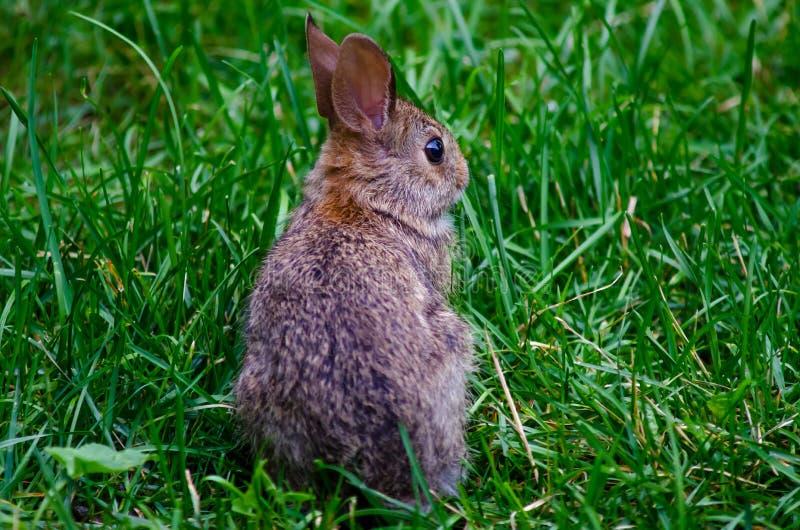 Bakre sikt av liten kanin royaltyfria foton