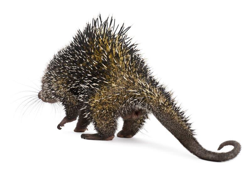 bakre sikt för brasiliansk porcupine royaltyfria foton