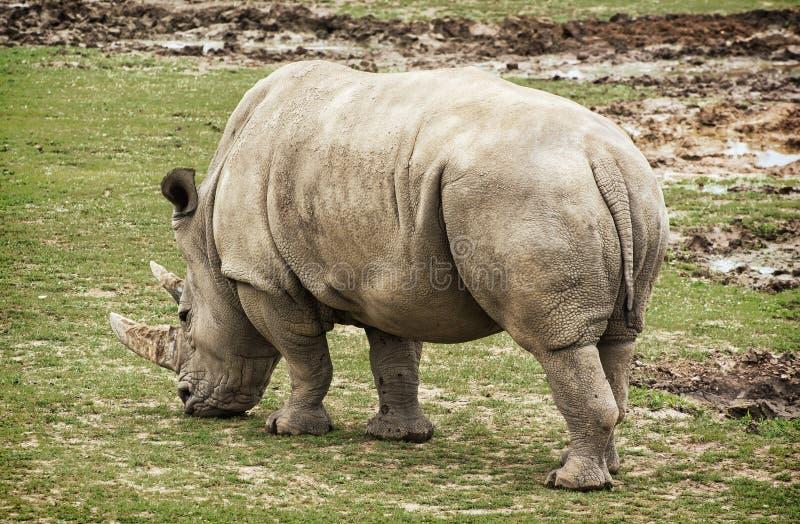 Bakre sikt för vit noshörning, djur plats royaltyfri foto