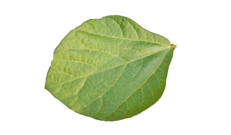 Baksida av det tropiska bladet för grön lövverk med kopieringsutrymmeisolatde på vita bakgrunder royaltyfria foton