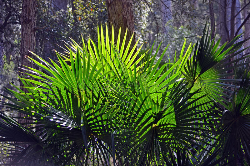 Baksida tända solfjäderformiga palmblad för kålträd royaltyfri fotografi