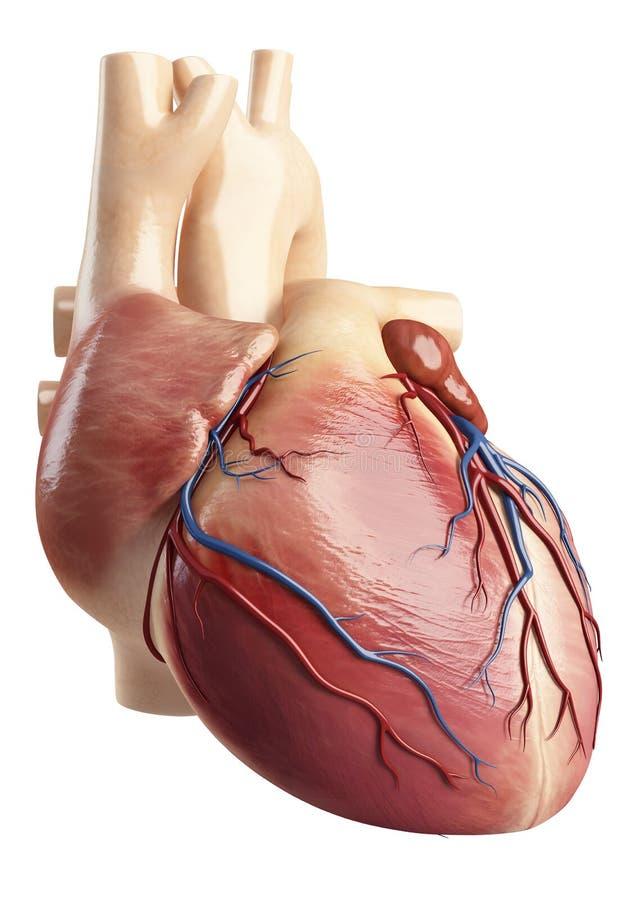 Baksikt av hjärtainteriorstrukturen vektor illustrationer