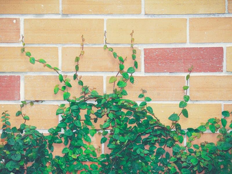 Bakstenen muur en Klimop royalty-vrije stock fotografie