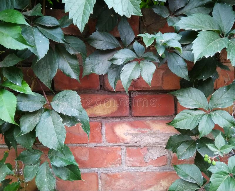 Bakstenen muur met bladeren van wilde druiven wordt verfraaid die royalty-vrije stock afbeelding