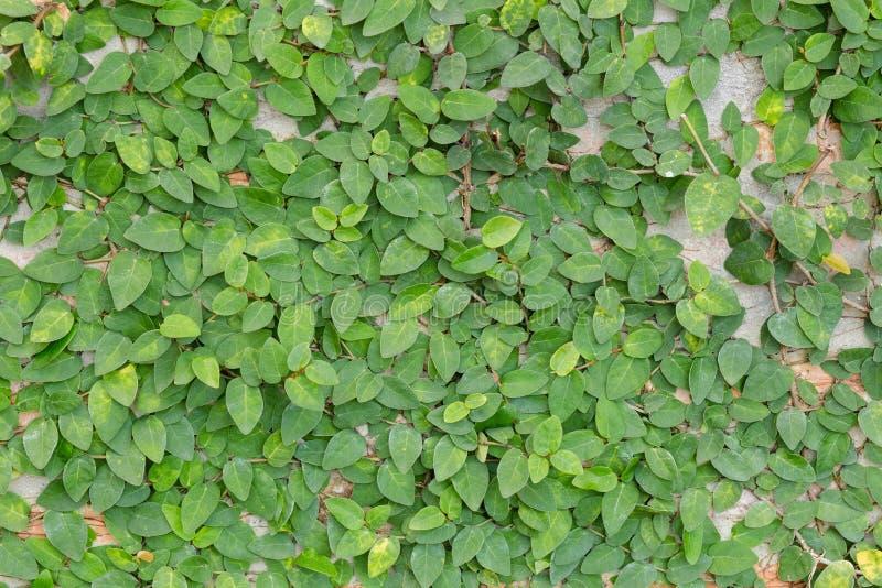 Bakstenen muur met groene behandelde klimop royalty-vrije stock afbeelding