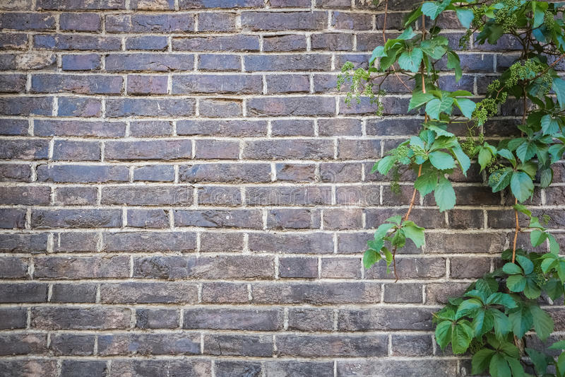Bakstenen muur met groene klimop stock foto