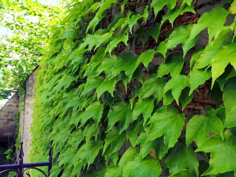 Bakstenen muur, met klimplanten van sierdruiven, kasteeltraliewerk, zandsteen, metselwerk, cementverbindingen royalty-vrije stock foto