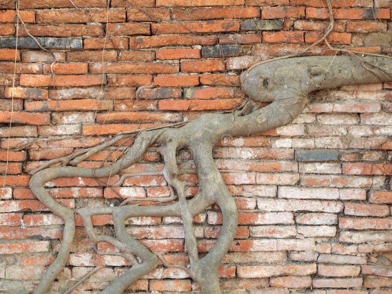 Bakstenen muur met oude wortelboom royalty-vrije stock afbeeldingen