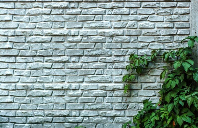 Bakstenen muur of omheining met wilde druiven Uitstekende bakstenen muur met natuurlijk bloemenkader Wilde druif op de muur van e stock afbeeldingen