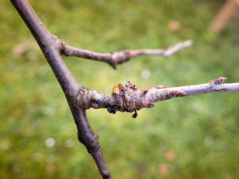 Bakterie- kräfta på plommonträd royaltyfria bilder