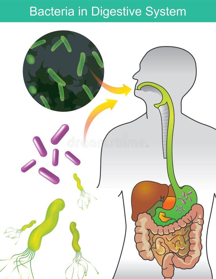 Bakterie w trawiennym systemu Ilustracyjna ewidencyjna grafika royalty ilustracja