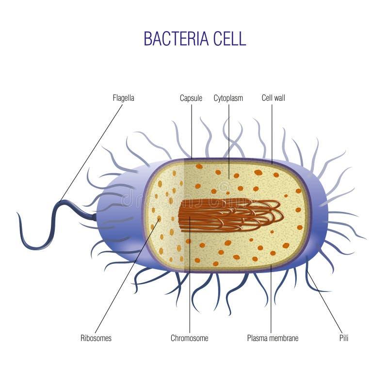 Bakteriecell royaltyfri illustrationer