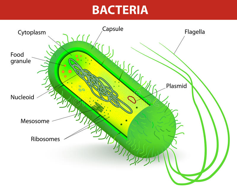 Bakteriecellstruktur stock illustrationer