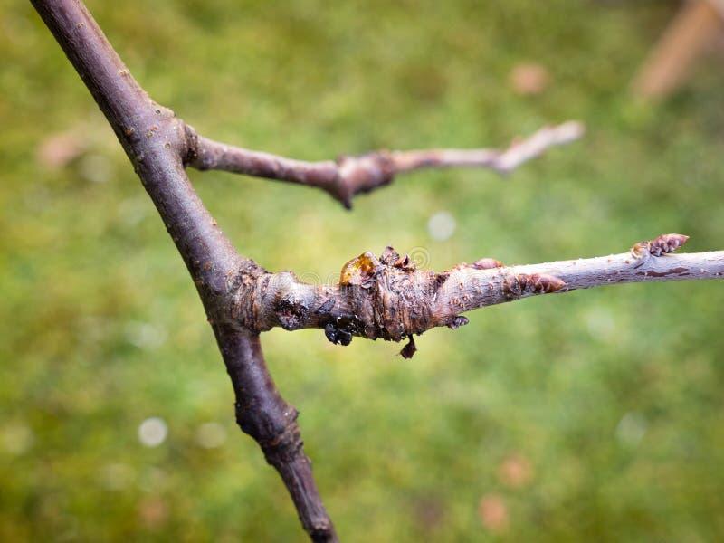 Bakterielles Krebsgeschwür auf Pflaumenbaum lizenzfreie stockbilder