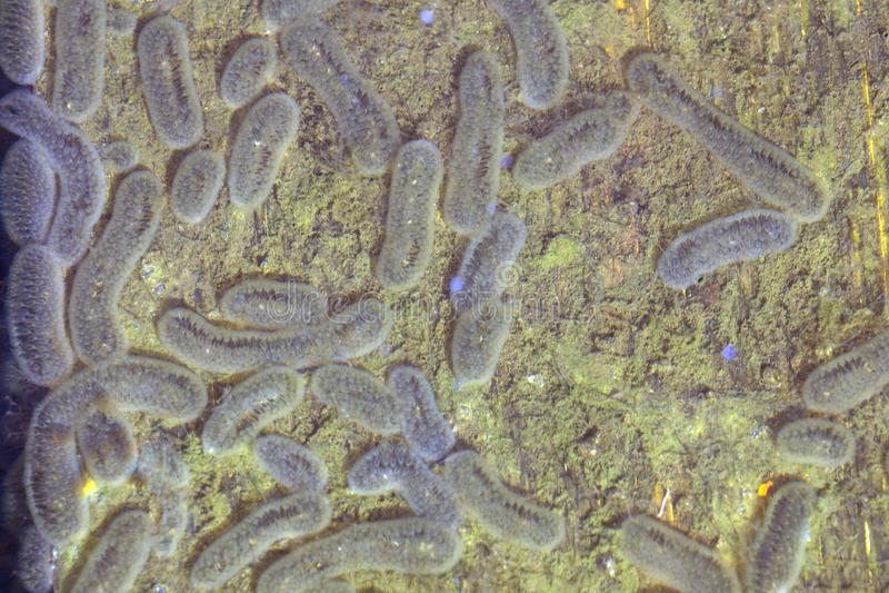 Bakterienmikroben bakteriell und Kolonie Bakterien-Salmonellen stockbilder
