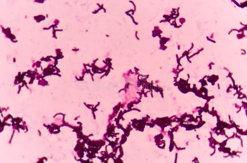E Coli-Bakterien-Zellen stockfoto. Bild von gesund ...