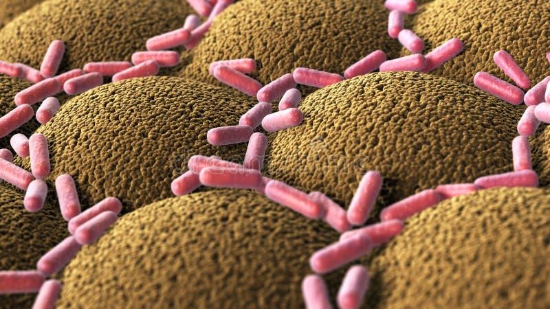 Bakterier på microvilliyttersidan av digestivkexsystemet vektor illustrationer