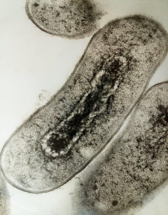 bakterium lizenzfreies stockfoto