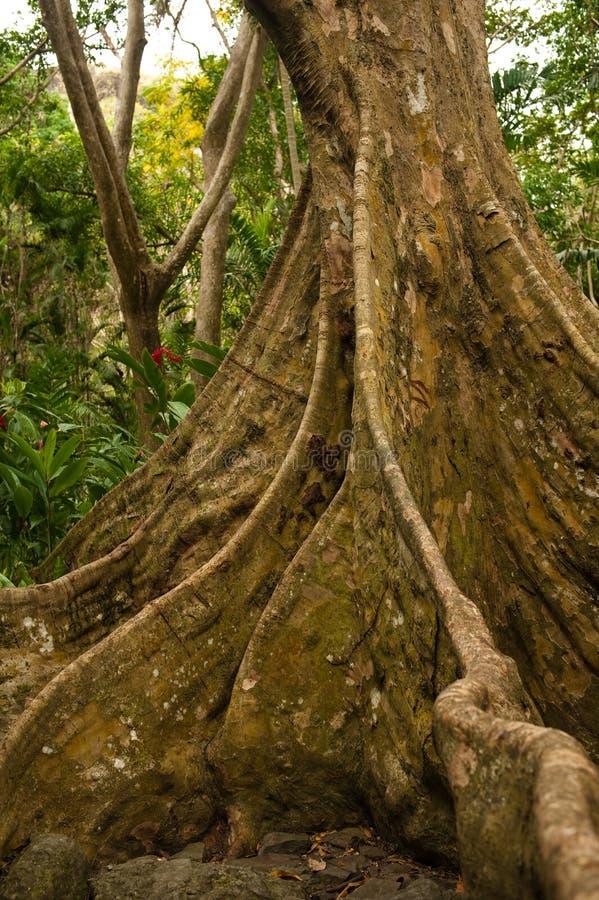 Download Baku - Fijian Banyan tree stock photo. Image of south - 16655766