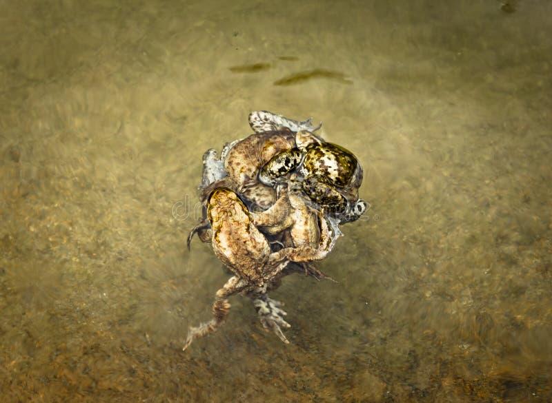 Bal van het koppelen van padden royalty-vrije stock afbeeldingen