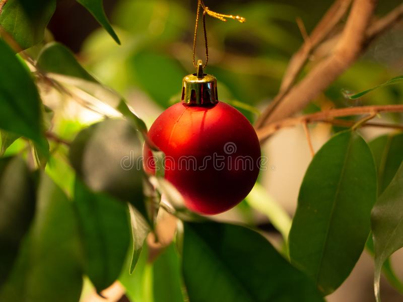 Bala de Natal Vermelha numa pequena planta caseira fotos de stock