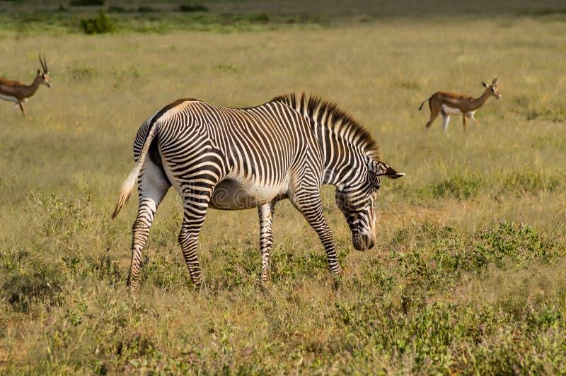 Balade en zèbre isolé dans la savane du parc Samburu photos libres de droits