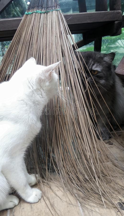 Balai de feuille de noix de coco entre le chat deux jouant le cache-cache le jour ensoleillé images libres de droits