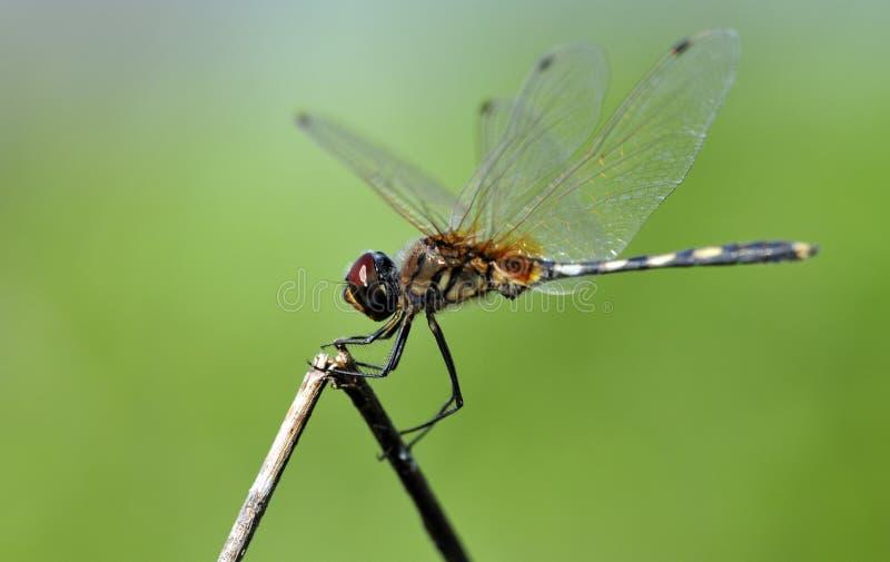 Balance de la libélula fotografía de archivo