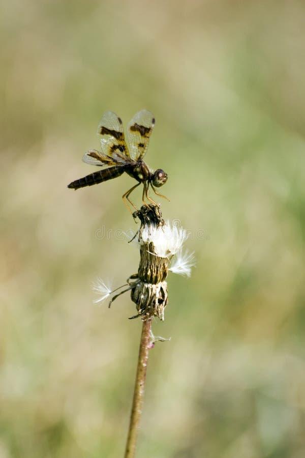 Balance de la libélula fotos de archivo