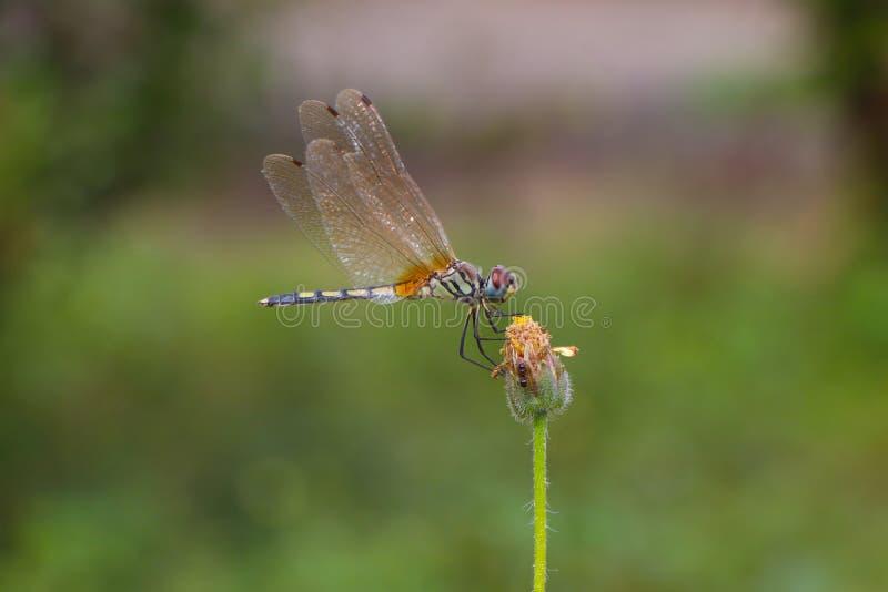 Balance de libélula fotografía de archivo