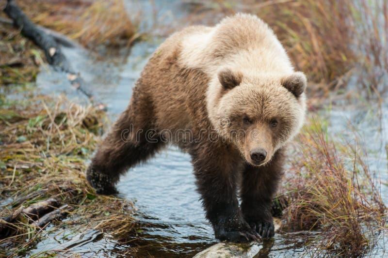 Balancen eines Grizzlybärjungen auf einem Klotz lizenzfreie stockbilder