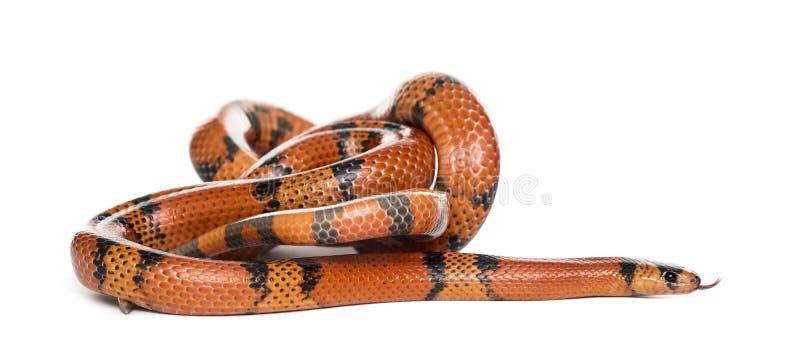 Balanceo anaranjado y negro de la serpiente, aislado foto de archivo libre de regalías