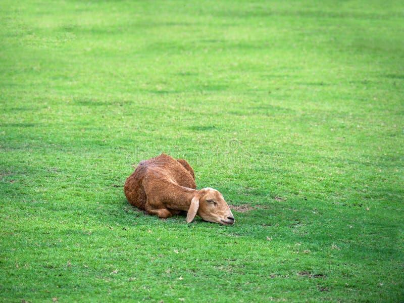 Balanceo de mentira en la hierba, prado, pasto de las ovejas foto de archivo