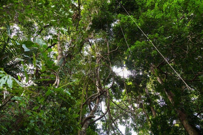 Balancer et lumière du soleil de lianes de l'auvent de forêt tropicale dans le phuke image libre de droits