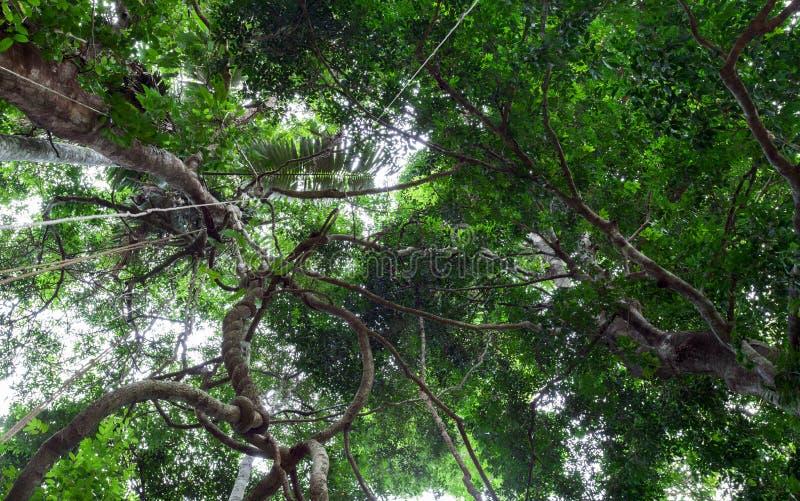 Balancer et lumière du soleil de lianes de l'auvent de forêt tropicale dans le phuke images libres de droits