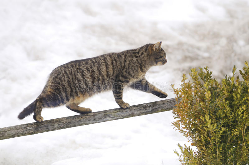 Balancing act. Young cat is balancing on a beam in a garden royalty free stock photography