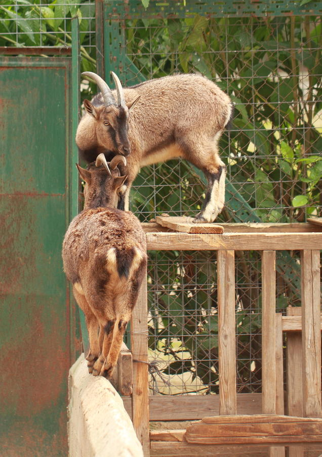 Download Balancing goats stock image. Image of goat, stand, standing - 28330383