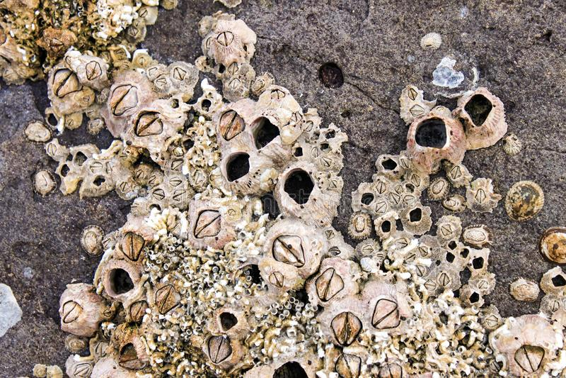 Balani e coperture encrusted sulle rocce dal mare fotografia stock libera da diritti