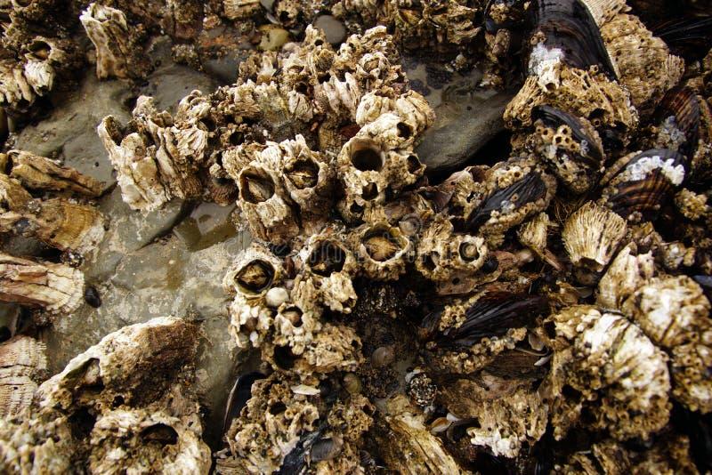 Balani e cozze esposti sulle rocce del mare fotografia stock