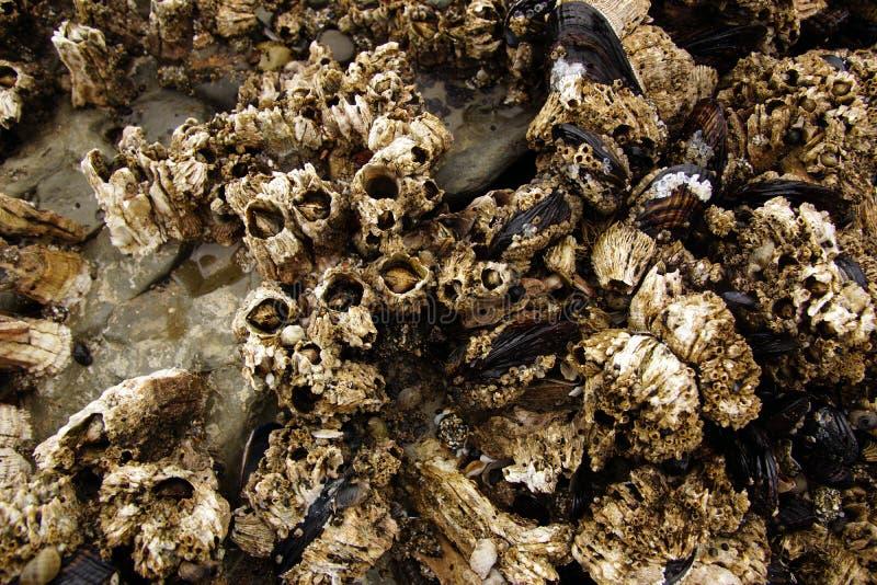 Balani e cozze esposti sulle rocce del mare immagini stock libere da diritti