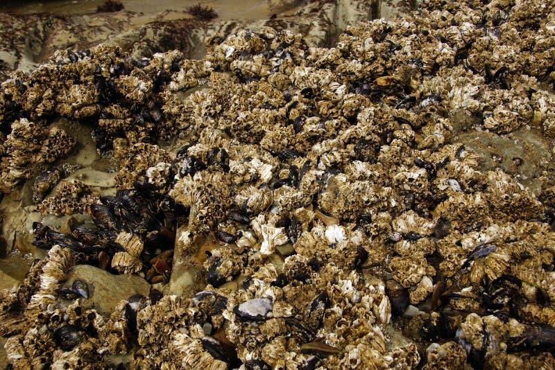 Balani e cozze esposti sulle rocce del mare immagini stock