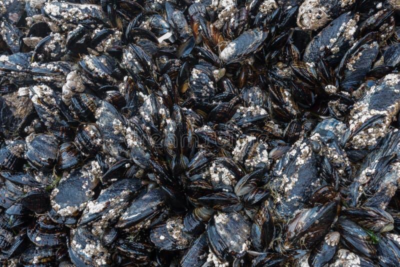 Balani e cozze sulle rocce in Tidepool immagine stock
