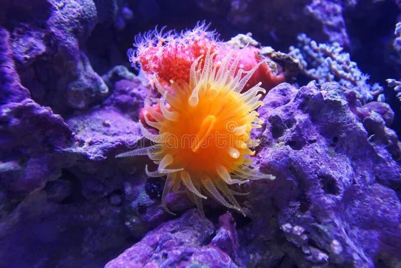 Balanophyllia elegans 珊瑚杯子el地点橙色sharm回教族长 库存照片