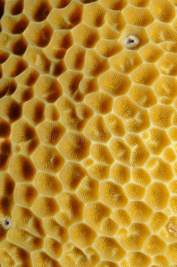 balanophyllia koralowi filiżanki elegans pomarańczowi obraz royalty free