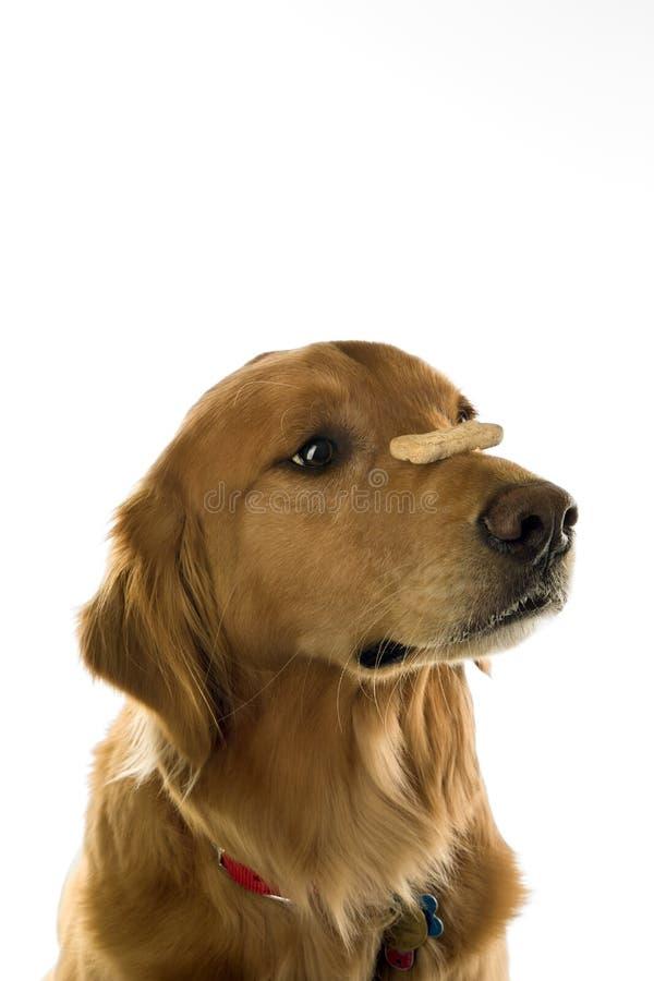 balansera treat för hundnäsa arkivfoto