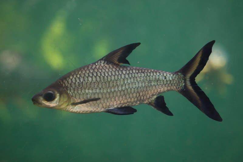 Balantiocheilos melanopterus dello squalo di Bala immagine stock libera da diritti