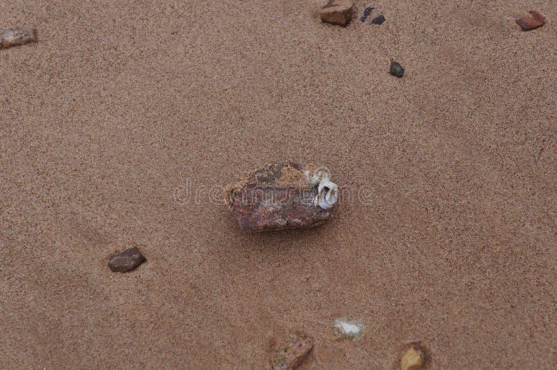 Balanus sticked on the stone stock image