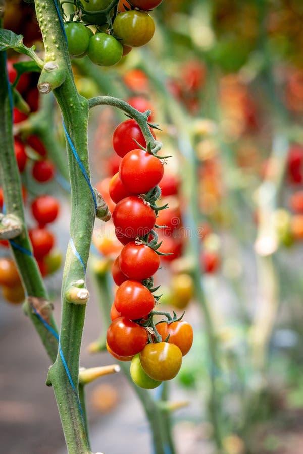 Balayez le plan rapproché rouge mûr de tomates en serre chaude photographie stock libre de droits