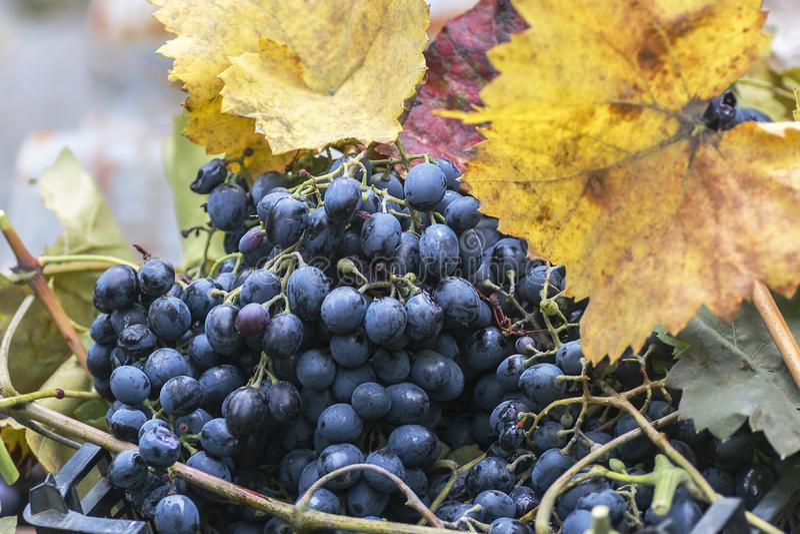 Balayez les raisins m?rs noirs accrochant dans la r?colte de jardin avec les feuilles jaunes photos libres de droits