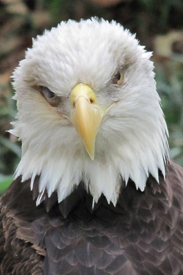 Balb老鹰凝视 免版税图库摄影